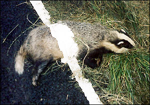 Image result for badger road kill