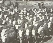Cattle_pen